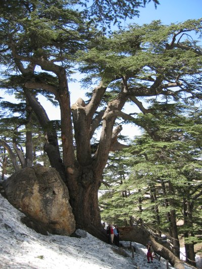Cedrus libani, Lebanon, April 2004. Originally uploaded on de:wiki as by de:Benutzer:Mpeylo