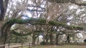 Live oak tree limbs.